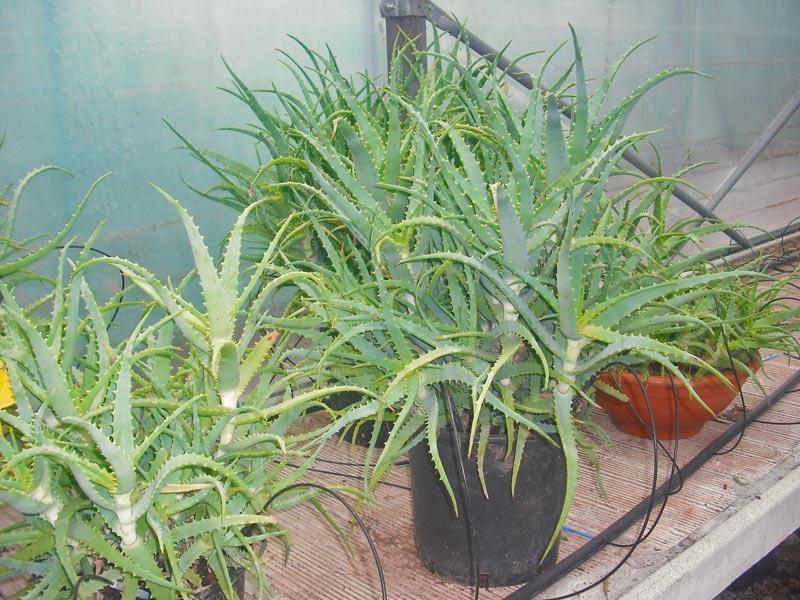 Piante Curative : Vendita piante e fiori a prato provincia